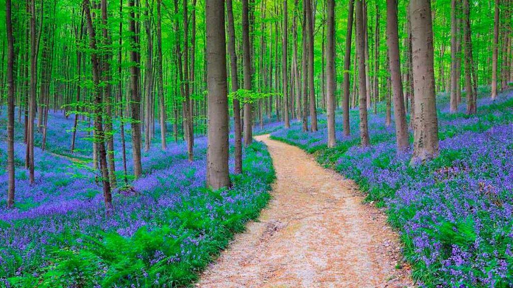 Hallerbos, a floresta azul da Bélgica